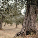 Olive pruning is the first step to a good harvest