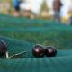 olive picking 2017